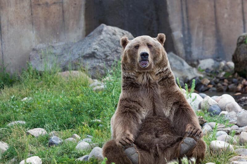 bozeman grizzly