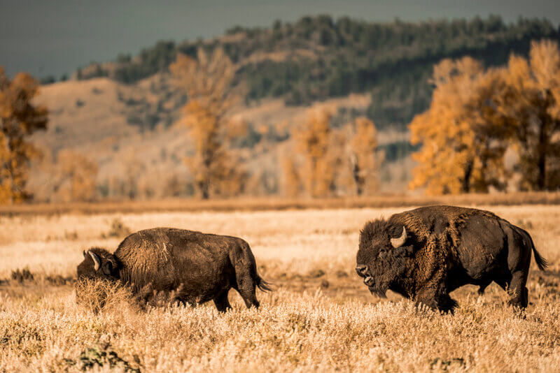 bull bison rutting on the plains