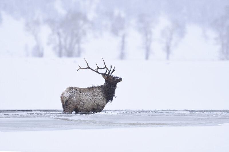 winter bull elk standing