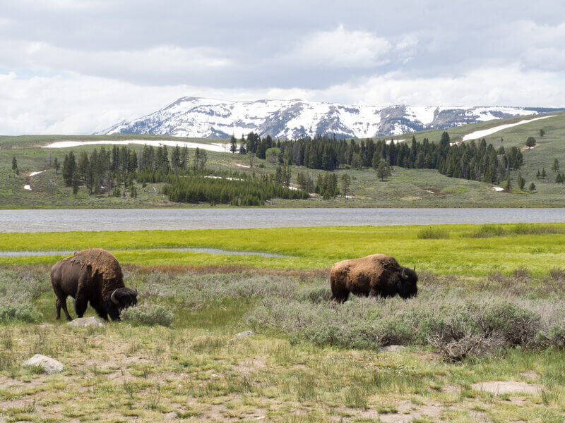 winter scene with bisons in wyoming